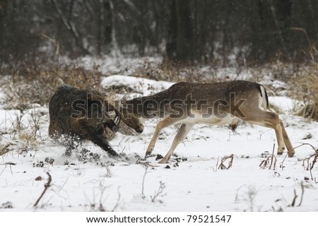 Fallow buck - wild boar fight - stock photo