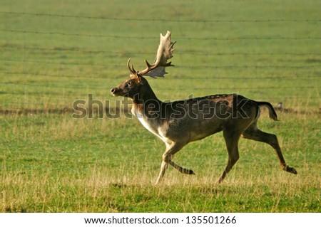 fallow deer buck, Dama dama, running on a farm in Westland, New Zealand - stock photo