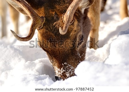 fallow deer buck (dama dama) searching for food under the big snow - stock photo