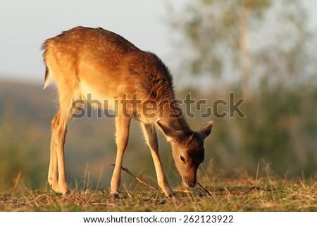 fallow deer calf ( Dama ) grazing in sunset light on meadow - stock photo