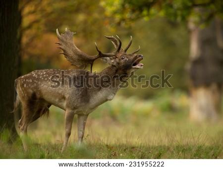 Fallow deer (Dama dama) bellowing during the rut, UK - stock photo