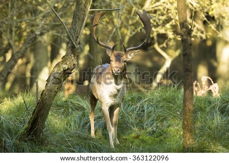 Fallow deer (Dama Dama) male during rutting season. The Autumn sunlight and nature colors are clearly visible on the background when the deer is stepping out of the forest. - stock photo