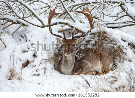 Fallow deer during winter in a snowy landscape. - stock photo