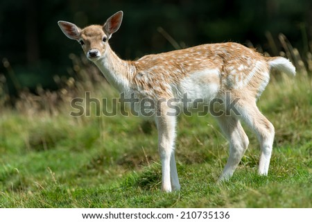 Fallow Deer Fawn against a blurred forest background/Fallow Deer/Fallow Deer (dama dama) - stock photo