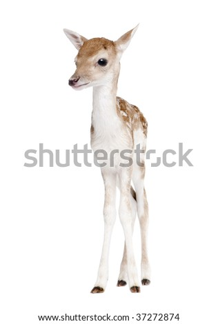 Fallow Deer Fawn, Dama dama, 5 days old, standing against white background, studio shot - stock photo