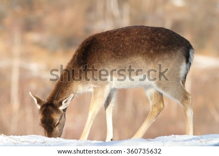 fallow deer fawn foraging for food in snow ( Dama ) - stock photo