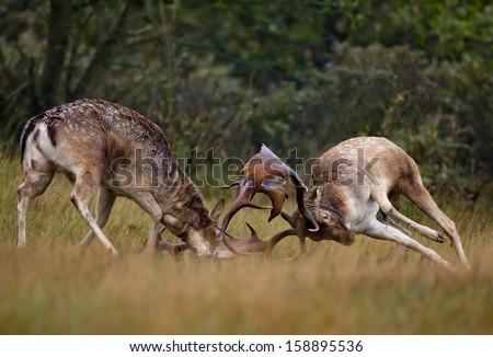 Fallow deer fight during the rutting season  - stock photo