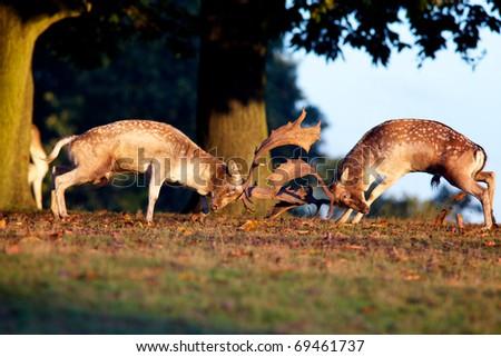 Fallow Deer fighting - stock photo