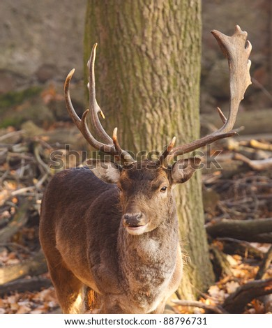 fallow deer in autumn nature - stock photo