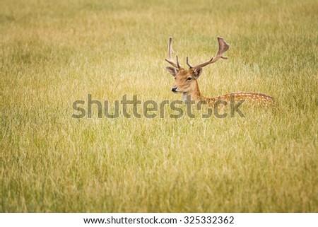 Fallow Deer in grass - stock photo