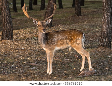 Fallow-Deer in the forest at sunset - stock photo