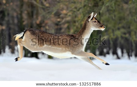 Fallow deer in winter forest - stock photo