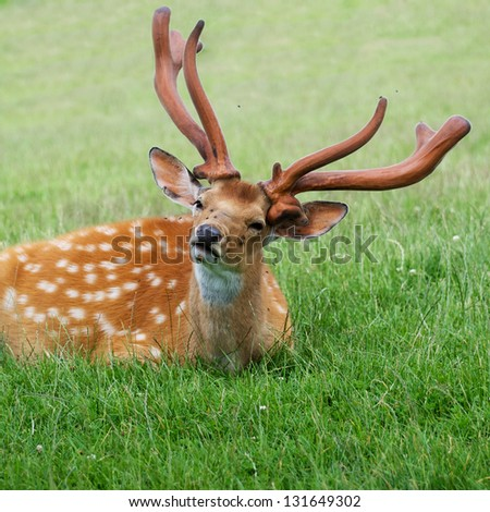 fallow deer lying in the grass - stock photo