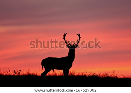 Fallow deer silhuette with a colorful sunset. - stock photo