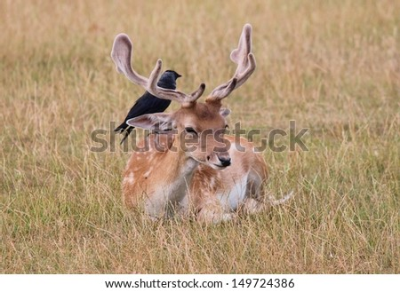 Fallow deer stag with bird on him in clearing Richmond park - stock photo