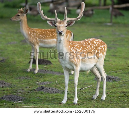 Fallow deer with a hind stand on grass - stock photo