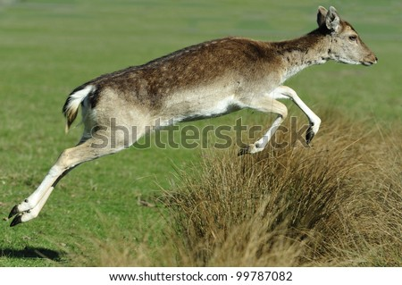 Fallow Leaping - stock photo