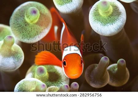 False Clown Anemone Fish - stock photo