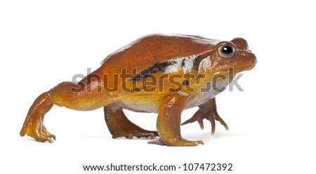 False Tomato Frog, Dyscophus guineti, against white background - stock photo