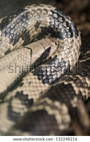 False Water Cobra Hydrodynastes gigas - stock photo