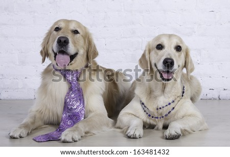 family dog. two dogs sitting, them dressed male tie and female necklace