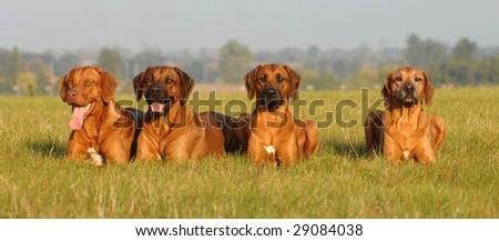 Family dogs - stock photo