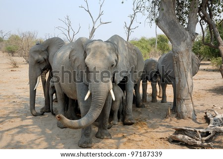 Family group of elephants at Chobe national park in Botswana Africa