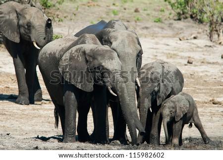 Family of african bush elephants (loxodonta africana) - stock photo
