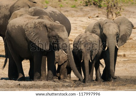 Family of african bush elephants (loxodonta africana) - stock photo