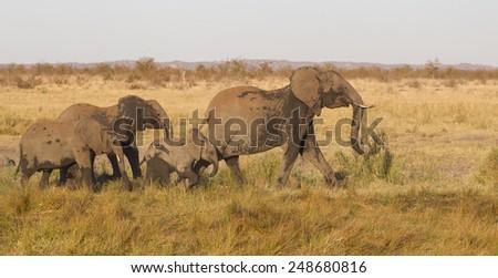 Family of African elephant (Loxodonta africana) - stock photo
