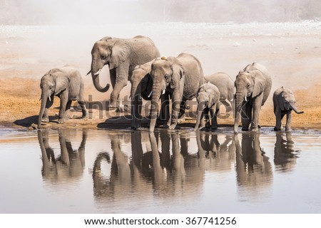 Family of African elephants drinking at a waterhole in Etosha national park. Namibia, Africa. - stock photo
