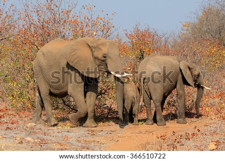 Family of African elephants (Loxodonta africana), Kruger National Park, South Africa - stock photo