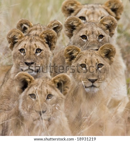 Family of African Lions looking very alert - stock photo