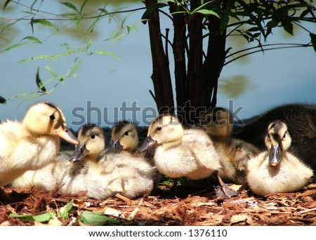 Family of baby ducks lined up, as if posing for a shot - stock photo