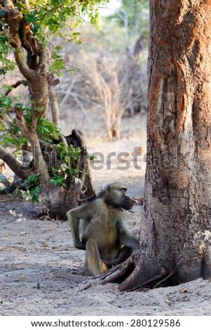 family of Chacma Baboon (Papio anubis), Nambwa National Park in Namibia - stock photo