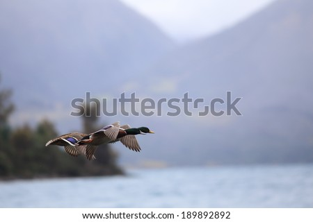 Family of duck flying in the nature. - stock photo