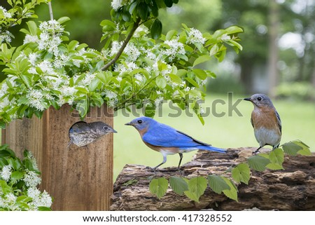 Family of Eastern Bluebirds with Chinese Fringe Branches over Nesting Box - stock photo