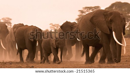 family of elephants in amboseli, Kenya - stock photo