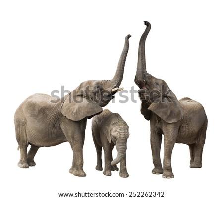 Family of elephants isolated on white background - stock photo