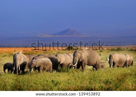 Family of elephants walking and feeding close to Kilimanjaro in kenya - stock photo