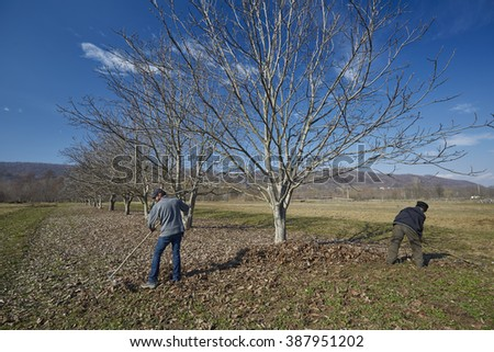 Family of farmers cleaning up dead leaves with rakes in an orchard