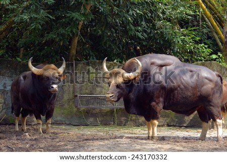 Family of gaur - the largest bulls in the world - stock photo