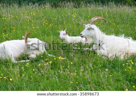 Family of goats.