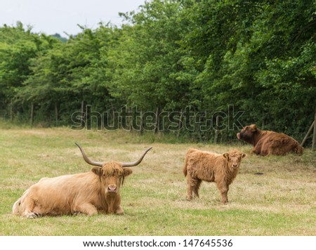 family of highland cattle resting in meadow - stock photo