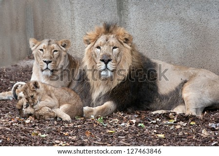 family of lions male female and cubs - stock photo