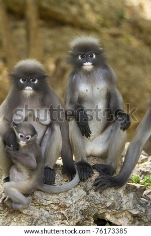Family of macaque - stock photo