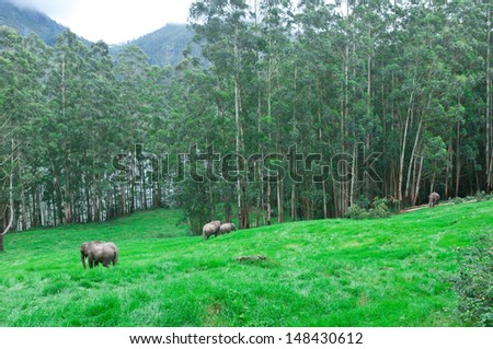 Family of many wild elephants grazing in forest meadow. elephants walking in green grass. adventure safari trek in mountain of Munnar Kerala India - stock photo