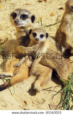Family of meerkats (focus on the little one) - stock photo
