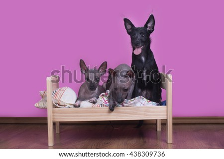 Family of Mexican hairless dogs in the morning in bed - stock photo
