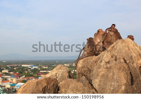 Family of monkeys live on hill and look at the city as below